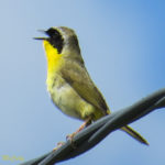 photo of male Common Yellowthroat