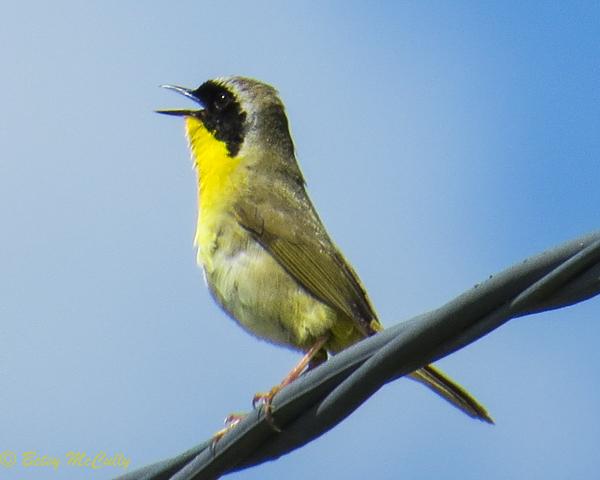 photo of male Common Yellowthroat