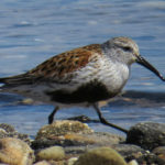 photo of Dunlin, breeding plumage