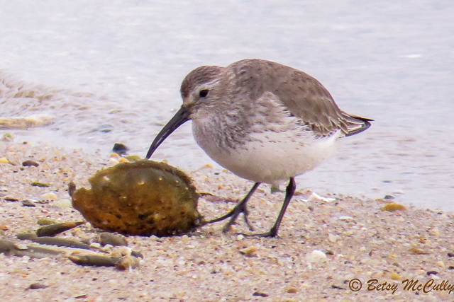 photo of non-breeding dunlin