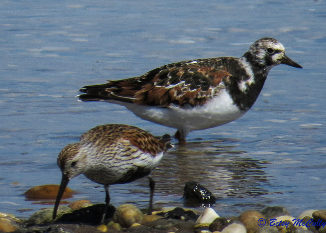 Photo of Dunlin and Ruddy Turnstone in breeding plumage.