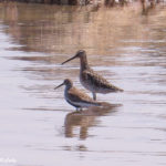 photo of Dunlin and Willet in water