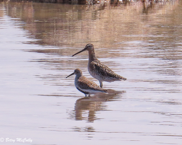 photo of dunlin and willet