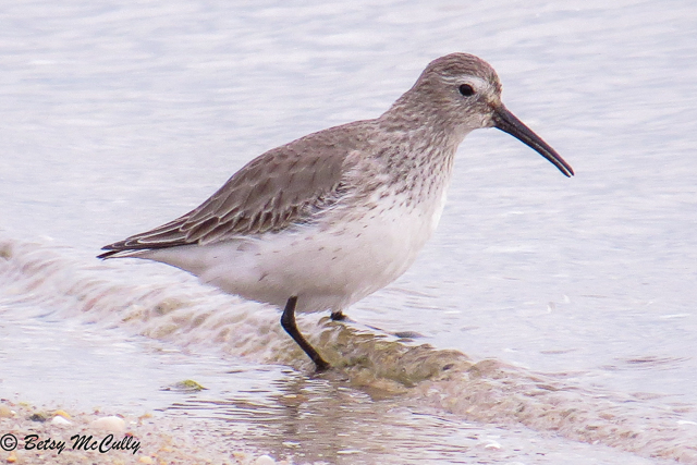 Photo of Dunlin
