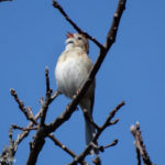 Photo of Field Sparrow singing