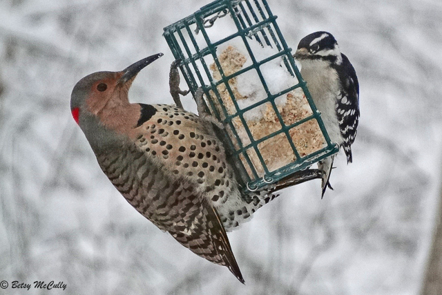 Photo of Flicker and Downy Woodpecker at suet feeder