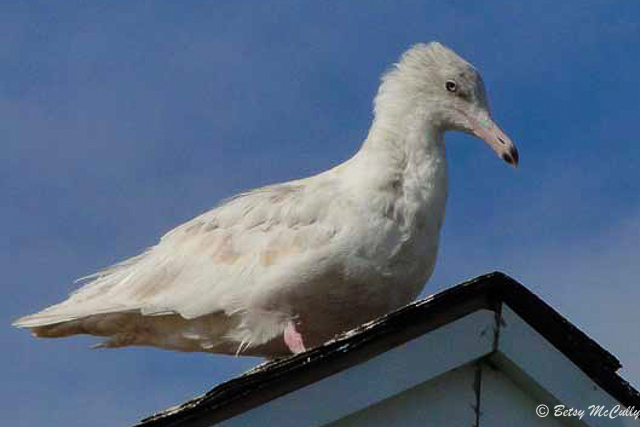 photo of Glaucous Gull, winter