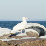Photo of Glaucous Gull, winter.