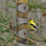 photo of goldfinch and pine siskin at thistle feeder