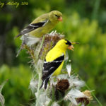 photo of goldfinch pair