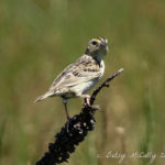 photo of Grasshopper Sparrow