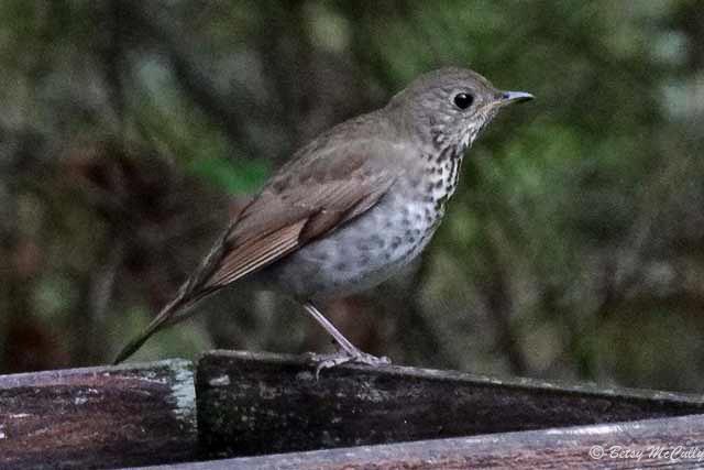 photo of Gray-cheeked Thrush