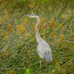 photo of Great Blue Heron in marsh