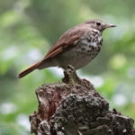 photo of Hermit Thrush