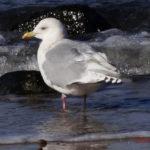 photo of herring gull in winter