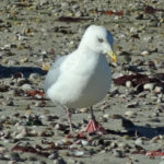 photo of Herring Gull adult