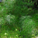 photo of horsetails