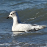 Photo of Iceland Gull, winter