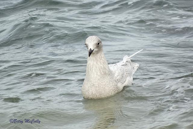Photo of Iceland Gull, winter.