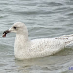 photo of Iceland Gull, winter.