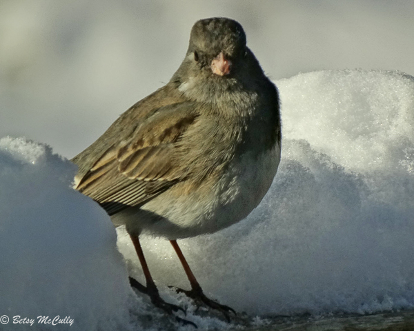 photo of junco in winter