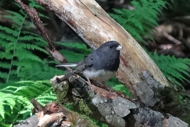 photo of Junco