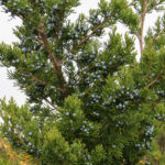 photo of red cedar