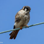 photo of American Kestrel