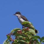 photo of Eastern Kingbird