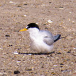 Photo of Least Tern