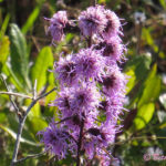 Photo of New England Blazing Star