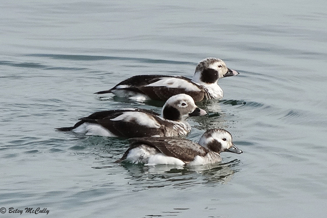 photo of Long-tailed Ducks