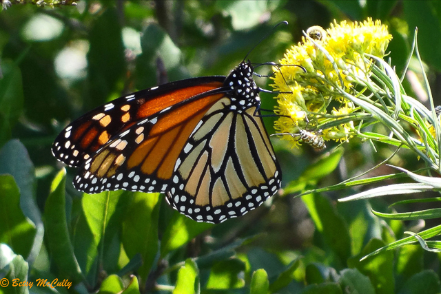 photo of monarch butterfly nectaring in goldenrod