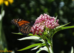 photo of Monarch butterfly nectaring in milkweed