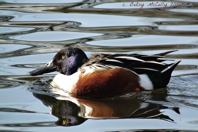 photo of Northern Shoveler male