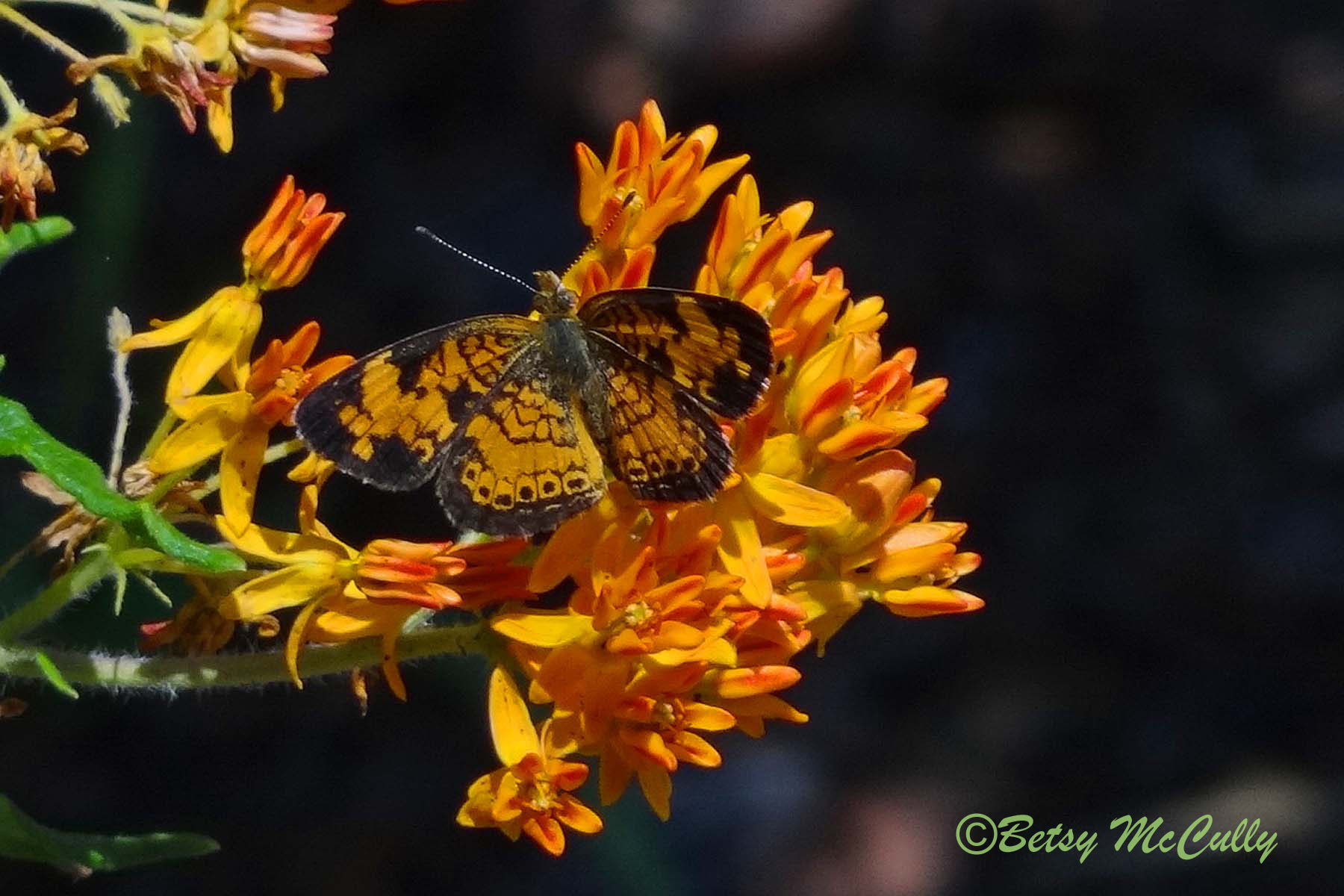 photo of Pearl Crescent in butterfly weed