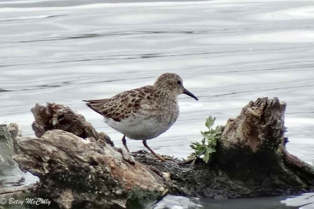 photo of Pectoral Sandpiper