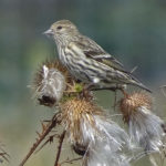 photo of Pine Siskin in thistle