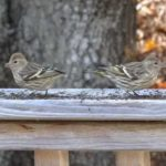 photo of pine siskins in winter