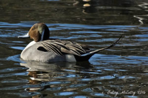 photo of wintering Pintail duck