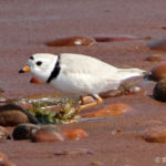 photo of Piping Plover on beach