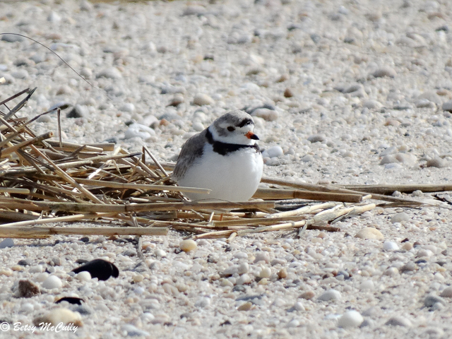 photo of Piping Plover near nest