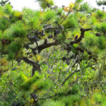 photo of pitch pine with cones