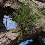 photo of pitch pine bark and leaves