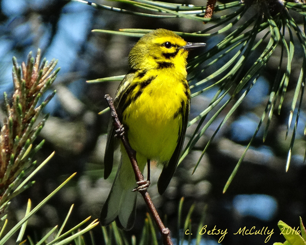 photo of Prairie Warbler