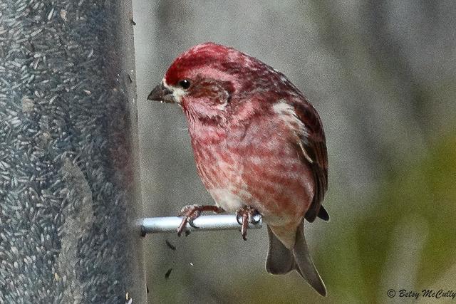 photo of Purple Finch male