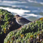 photo of Purple Sandpiper