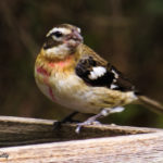 Photo of immature male rose-breasted grosbeak