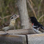 photo of Rose-breasted Grosbeak pair