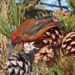 photo of male Red Crossbill